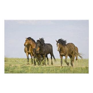 Feral Horse Equus caballus) wild horses 3 Photo Art