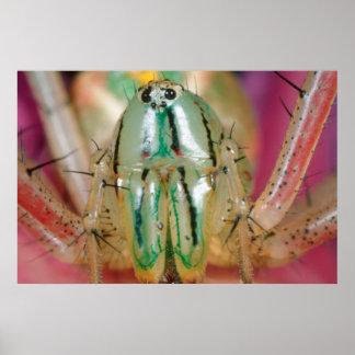 Fermez-vous de l'araignée de Lynx (Oxyopidae) sur Poster