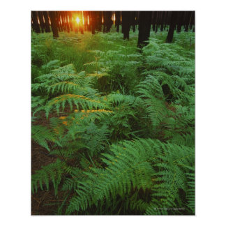 Fern leaves covering the ground, Tsitsikamma, Poster