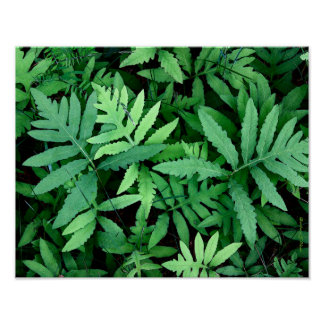 Ferns: Canvas-- Poster