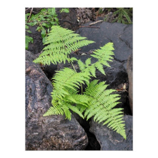 Ferns, nestled among stone, Rocky Mountain NP. Poster