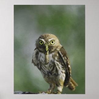 Ferruginous Pygmy-Owl, Glaucidium brasilianum, 7 Poster
