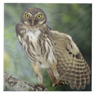 Ferruginous Pygmy-Owl, Glaucidium brasilianum, Ceramic Tiles
