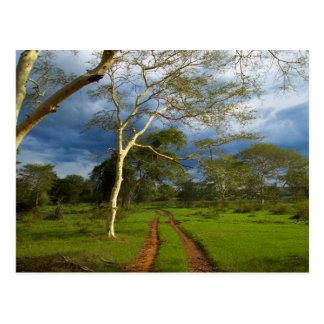 Fever Tree (Acacia Xanthophloea) By Dirt Track Postcards