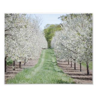 Field of Cherry Tree Blossoms Door County Print