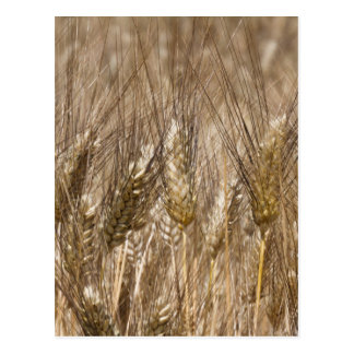 Field of ears of wheat postcard