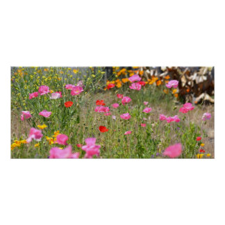 Field of Iceland Poppies Poster
