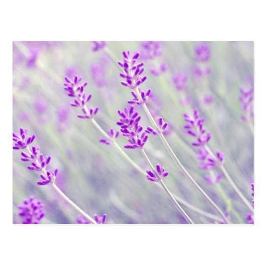Field of Lavender Postcard