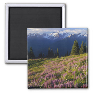 Field of lupine, Mt. Olympus, and clouds at Magnet