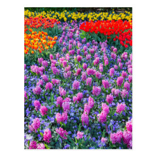 Field of pink hyacinths and red tulips postcard