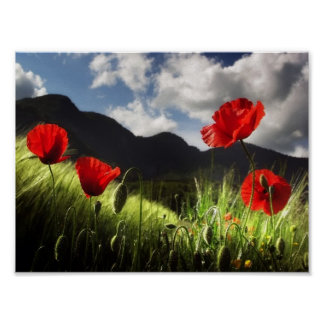 Field of POPPY FLOWERS Poster
