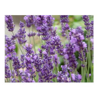 Field of Purple Lavender Flowers Postcard