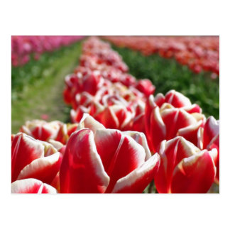 Field of Red and White Tulips Postcard