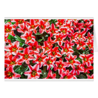 Field of red tulips from above card