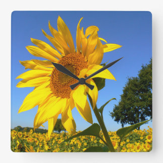 Field Of Sunflowers 01.2, Sunflower Square Wall Clock