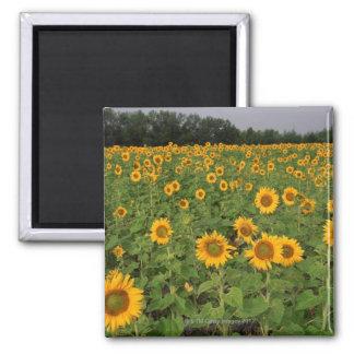 Field of sunflowers , North Dakota Magnet