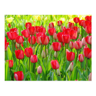 Field of Tulips Postcard