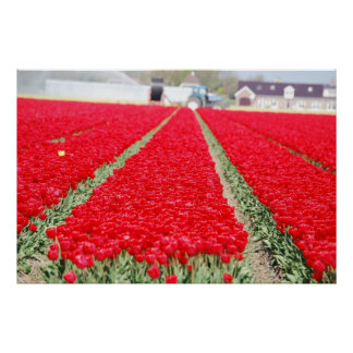 Field of Tulips Poster