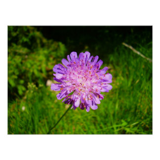 Field Scabious Poster
