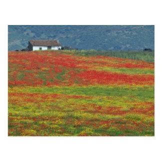 Fields of poppies near Cordoba, Andalusia fl Postcard