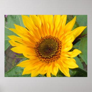Fiery Sunflower Poster