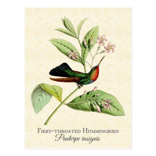 Fiery Throated Hummingbird Art Postcard