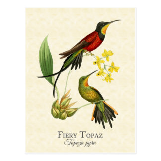 Fiery Topaz Hummingbirds Vintage Art Postcard