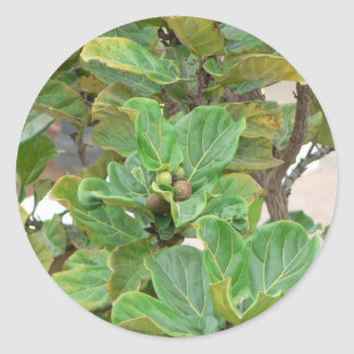 Fig Tree Classic Round Sticker