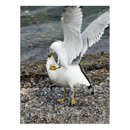 Fighting Seagulls Postcard