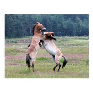 Fighting Wild Horses Postcard
