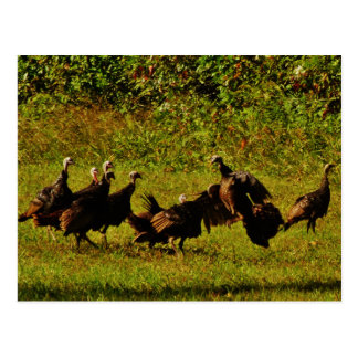 Fighting Wild Turkeys in The Smoky Mountains Postcard