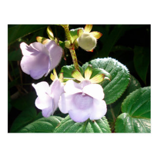Fiji Purple Orchid Postcard