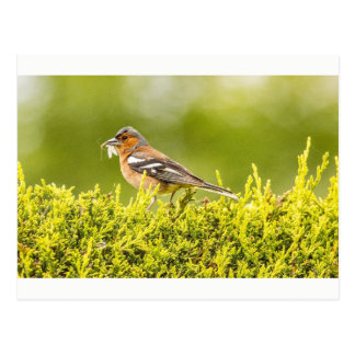 """""""Finch with fly"""" postcards"""