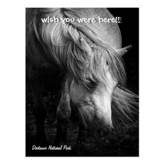 Fine Art Pony Head and Mane postcard