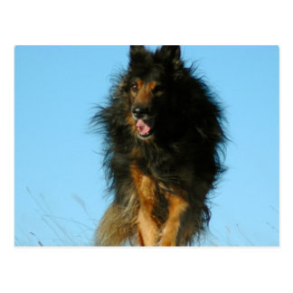 Finnish Lapphund Dog Postcards