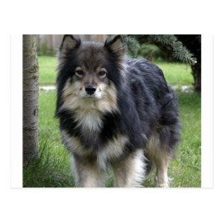 finnish lapphund full 2.png postcard