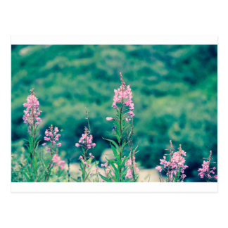 fireweed crossprocess postcard