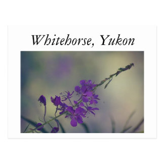 Fireweed, Fox Lake, Whitehorse, Yukon Postcard