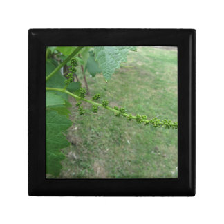 First buds on white mulberry tree ( Morus alba ) Gift Box