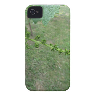 First buds on white mulberry tree ( Morus alba ) iPhone 4 Case