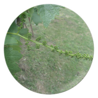 First buds on white mulberry tree ( Morus alba ) Plate