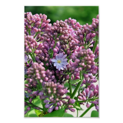 First Lilac Flower with twelve petals Poster