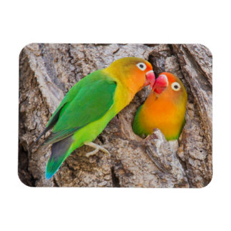 Fischer's Lovebirds kissing, Africa Magnet