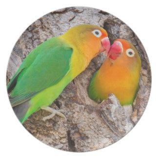 Fischer's Lovebirds kissing, Africa Party Plate