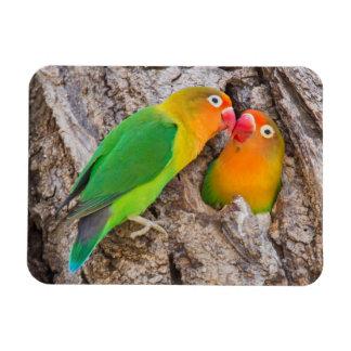 Fischer's Lovebirds kissing, Africa Rectangular Photo Magnet