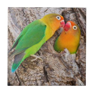 Fischer's Lovebirds kissing, Africa Tile