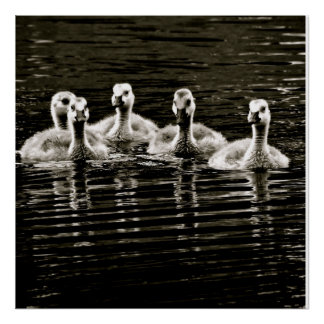 Five Baby Geese Swimming Poster