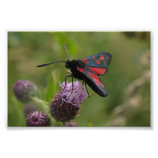 Five-spot Burnet Moth Photo