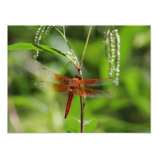 Flame Skimmer 16x12 Canvas Poster Print