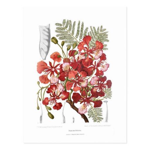 Flame Tree (Delonix regia) Post Cards